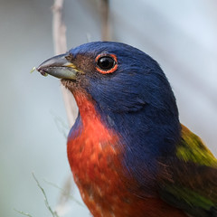 Painted Bunting Portrait (PeterBrannon) Tags: bird bunting crayola8 florida nature paintedbunting passerinaciris wildlife circlebbarreserve lakeland