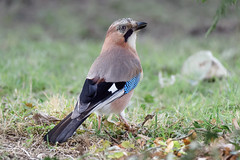 a Jay / un geai (1) : smiling to the camera (Franck Zumella) Tags: bird oiseau jay geai colors high iso forest blue red green foret