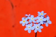 forget-me-nots (overthemoon) Tags: switzerland suisse schweiz svizzera romandie vaud lausanne flowers blue orange forgetmenots macro closeup skip myosotis colourful clashing contrast explore 50