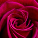 "Red Rose Macro • <a style=""font-size:0.8em;"" href=""http://www.flickr.com/photos/124671209@N02/33063097073/"" target=""_blank"">View on Flickr</a>"
