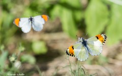 Seeing double (Photosuze) Tags: butterflies pair two saraorangetips insects bugs lepidoptera nature wildlife animals plants pollination