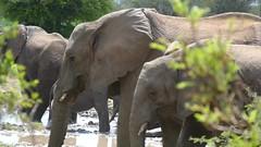 African Elephants (Loxodonta africana) having a mud bath ... (berniedup) Tags: africanelephant loxodontaafricana elephant taxonomy:binomial=loxodontaafricana lowersabie kruger