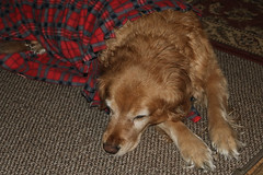 Prancer Sleeping (hbickel) Tags: prancer dog goldenretriever golden sleeping canont6i canon slr blanket
