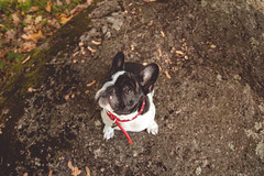 IMG_3382 (Anastasia Neto) Tags: dog dogphotography dogs dogmodel dogphotographer puppies puppy cutepuppies cutepuppy funnydog funnydogs petmodel petphotography pet pets petphotographer frenchie frenchies frenchbulldog frenchbulldogs bulldog bulldogs