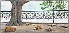 Nothing much to do (Ramalakshmi Rajan) Tags: dogs dog nikond5000 nikon nikkor18140mm animals animal jubileepark