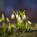 Galanthus (snowdrop) (Yuri Macsimov) Tags: meadow snowdrop natural flowers spring sunny flora forest plant background wild nature wildlife galanthus dof bokeh pentax k1 helios 44m7