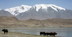 Yaks Karakul Lake Muztagh Ata Xinjiang Uyghur Autonomous Region of China (eriagn) Tags: yak animal livestock livelihood kyrgyz men ethnic bactriancamel camel horse karakullake muztaghata chinanationalhighway314 karakoramhighway kkh sanddune river dune mountain snow peak stonebuilding highway road highaltitude scenic landscape remote rugged geology eurasianplate indianplate tectonics sarykol yellowlake gezrivercanyon ghezriver murztaghata kyrghiz pakistan pamir kunlun silkroad traderoute ngairehart ngairelawson eriagn threadsinthesand expedition travel adventure photography route asia china centralasia farwesternchina cold kongershan kashgar kashi