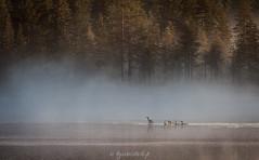 Early morning (Kyösti Välitalo) Tags: kesä elokuu lappi posio riisitunturi fog misty bird birds foggy landscape water lake
