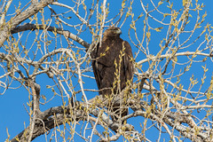 Gorgeous Golden Eagle in a busy tree