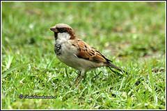 6761 - house sparrow  - சிட்டுக் குருவி (chandrasekaran a 40 lakhs views Thanks to all) Tags: housesparrow sparrow birds nature india tamilnadu ooty canon60d