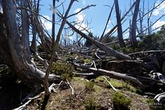 20170301-33-Dead pencil pines (Roger T Wong) Tags: australia greatpinetier np nationalpark sel1635z sony1635 sonya7ii sonyalpha7ii sonyfe1635mmf4zaosscarlzeissvariotessart sonyilce7m2 tasmania wha wallsofjerusalem worldheritagearea bushwalk camp hike pencilpines trektramp walk