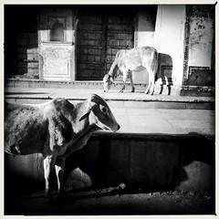 India series (Nick Kenrick..) Tags: hipstamatic johnslens aobwfilm india rajasthan pushkar hindu cow