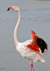 Greater Flamingo (Phoenicopterus roseus) (berniedup) Tags: bird parcornithologique pontdegau camargue greaterflamingo phoenicopterusroseus flamingo taxonomy:binomial=phoenicopterusroseus