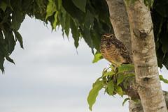 Coruja - Unila (MiGuel Angelo F. Jr.) Tags: coruja owl búho