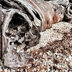 Tree. Quartz beach. Port Davey, Tasmania.