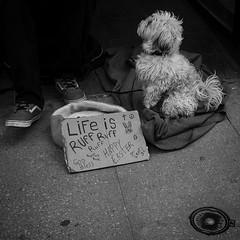 Life is ruff ruff (andrea.demeo) Tags: 23f2 xt2 fujifilm yonge canada toronto sunday easter monochrome streets street dog hardlife