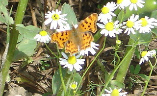 Comma butterfly June 2014