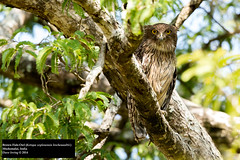 Brown Fish-Owl (Ketupa zeylonensis leschenaultii) (Dave 2x) Tags: india southindia mudumalai brownfishowl ketupazeylonensis fishowl ketupazeylonensisleschenaultii daveirving httpwwwdaveirvingwildlifephotographycom