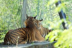Love you, mummy (tommyajohansson) Tags: london geotagged zoo tiger bigcat sumatrantiger predator tigre tiergarten londonzoo tigercubs faved tigercub djurpark raubtier zsl zoologicalsocietyoflondon sumatrantigercub sumatrantigercubs rovdjur tommyajohansson regentspark