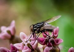 2014-07-08 Bsssss (Jean-Pierre Dubeau) Tags: fly milkweed mouche asclépiades
