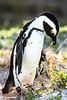 Wild South African Penguin-Alone again, naturally... (Photography by Julia Martin) Tags: alone simonstown bouldersbeach capepeninsula jackasspenguin blackfootedpenguin southafricanpenguin specanimal avianexcellence wildpenguin africanpenguinspheniscusdemersus photographybyjuliamartin