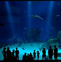 Aquahouette (Jaedde & Sis) Tags: denblåplanet aquarium blue water silhouette fish herowinner gamewinner flickrchallengewinner flickrchallengegroup gamex2sweepwinner challengefactorywinner unanimous thechallengefactory 15challengeswinner challengeyouwinner a3b ultimategrindwinner gamex2 gamex3 challengefactoryfinals