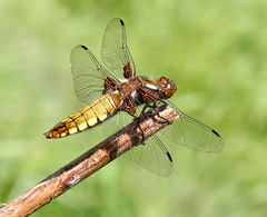 Female Broad-bodied chaser (Roger H3) Tags: insect dragonfly chase broad odonata bodied