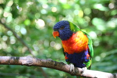Rainbow Lorikeet (Doodles N' Dabbles) Tags: bird colors animal zoo rainbow branch bokeh wildlife feathers lorikeet aves avian catchycolorsrainbow