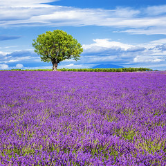 Lavender field with tree (Frdric Prochasson) Tags: blue light summer plant france flower beautiful beauty field lines square french landscape outdoors countryside colorful purple scenic magenta violet lavender nobody rows fragrant provence picturesque lavande abundance herbal scent azur fragrance aroma blooming scented aromatherapy alpesdehauteprovence valensole provencealpescote lavendin sunnylandscape
