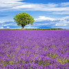 Lavender field with tree (Frédéric Prochasson) Tags: blue light summer plant france flower beautiful beauty field lines square french landscape outdoors countryside colorful purple scenic magenta violet lavender nobody rows fragrant provence picturesque lavande abundance herbal scent azur fragrance aroma blooming scented aromatherapy alpesdehauteprovence valensole provencealpescote lavendin sunnylandscape