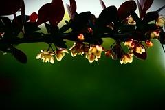 20140529235953_IMG_4684_1-1-1 (Nita Bird) Tags: macro night cherry sand blossoms highcontrast delicate canon70d