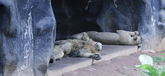 Lions (Achala Photography) Tags: animal 動物 동물 动物 achala حيوان rajapaksha haiwan животное สัตว์ விலங்கு पशु পশু සත්තු