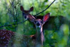 fawn with mom ~ Alex Dow Field (Tall Grass Prairie), Nichols Arboretum, Michigan (j van cise photos) Tags: light color nature fauna composition mom bokeh michigan doe deer fawn huronriverwatershed afsnikkor70200mmf28gedvrii continentalunitedstates nikond7100 pressltoenlarge