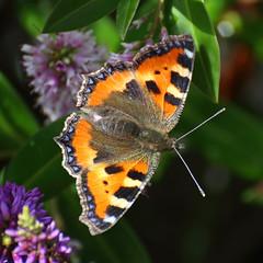 Tortoiseshell (Treflyn) Tags: uk wild butterfly garden reading back nice wildlife united kingdom tortoiseshell visitor berkshire earley