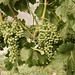 ET2Media Photo of grapes in Orofino Vineyard