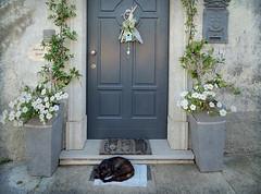 IMG_6529 The doorkeeper (pinktigger) Tags: door flowers italy white cat grey feline italia nap sleep mat gatto friuli ciconicco cicunins