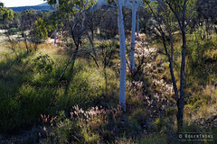 20140621-85-Larapinta Trail day 4 (S5) - Red grass on hill side.jpg (Roger T Wong) Tags: winter camp grass trek nationalpark afternoon nt walk australia hike backlit np bushwalk tramp campsite northernterritory 2014 canonef24105mmf4lisusm canon24105 westmacdonnellnationalpark larapintatrail birthdaywaterhole canoneos6d rogertwong