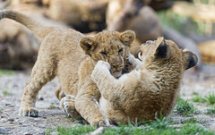 Cubs playing together (Tambako the Jaguar) Tags: wild two baby playing cute cat fun zoo cub switzerland big nikon action african lion young basel together fighting zolli d4