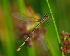 Female Emerald Damselfly (andrewwebber99) Tags: emerald damselflies