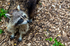 Raccoon (Davoud D.) Tags: coon raccoon racoon commonraccoon northernraccoon northamericanraccoon