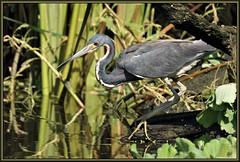 Hold that pose (WanaM3) Tags: bird heron nature branch texas wildlife sony ngc bayou pasadena canoeing paddling tricoloredheron a77 avianexcellence horsepenbayou sonya77 wanam3