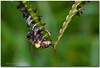 Honey Bee (framesandfocus) Tags: flower macro bangalore honey nectar karnataka honeybee lalbagh tamron90mmmacro honeybeeatwork nikond3100 venkatuhegde framesnfocus venkatramanhegde