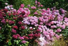 A forest of pink hydrangeas @CastlekennedyGds