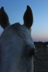 (issabelschultz) Tags: sunset horses closeup canon eos grey pasture equestrian t3i