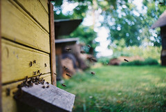 beel with it (Liis Klammer) Tags: film analog 35mm estonia fuji bokeh superia bees 200 zenit eesti zenitet mir1v mesilased