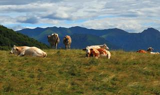 Ramponio Verna, vacche al pascolo alle bolle - Luglio 2014