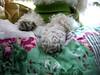 Jueves de patitas (Asado De Cordero) Tags: dog pet pets animal animals cat canon kitty poodle paws jueves patitas chdk a480