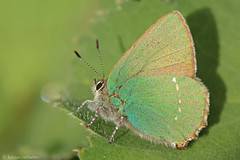 Me and my shadow (KHR Images) Tags: macro nature sunshine butterfly insect scotland nikon wildlife ardnamurchan 105mm greenhairstreak mingarry callophrysrubi d7100 kevinrobson khrimages