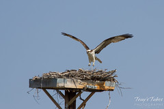 Osprey landing sequence - 6 of 14