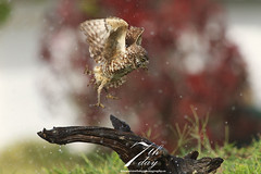 Wet flight (Seventh day photography.ca) Tags: bird wet photography flying day unitedstates florida c flight raptor owl seventh predator macdonald birdofprey burrowingowl 2014